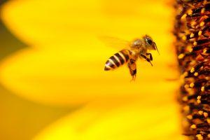 melissofobia paura delle api